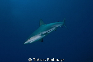 Caribbean Reef Shark at Austin Smith Wreck, Exumas by Tobias Reitmayr